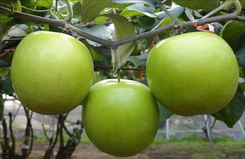 Độc đáo bí kíp chữa bỏng bằng bài thuốc vỏ cây táo