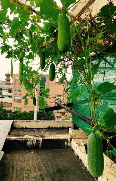Giàn bầu bí trên sân thượng của Thuận Việt đầy hấp dẫn