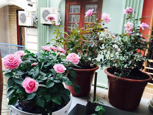 Tuyệt đẹp những 'ngôi nhà hoa hồng'