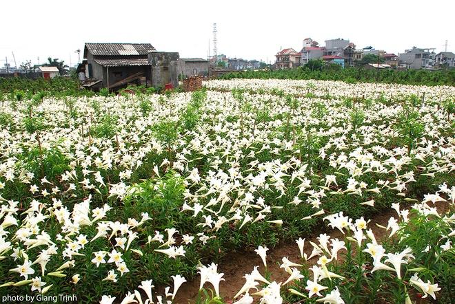 Vườn hoa loa kèn nở bung trắng muốt ở Nhật Tân và Tây Tựu