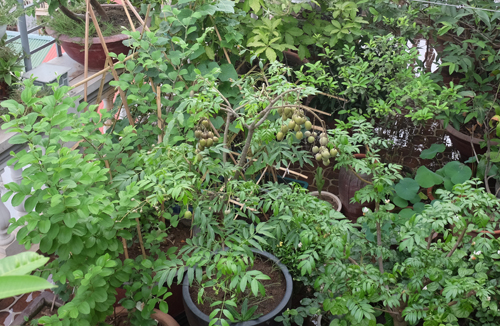 'Rừng' rau quả trên sân thượng của gia đình Hà Nội