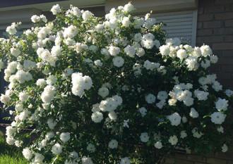 Hình ảnh hoa hồng trăm bông và giàn nho trĩu quả