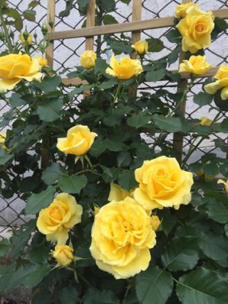 Khu vườn rực rỡ sắc hoa của chủ nhà Việt ở Hungary